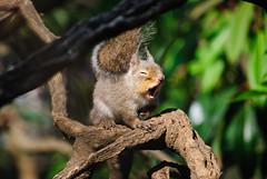 Squirrel yawning