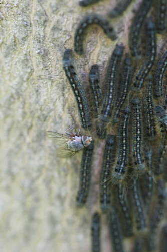 Forest Tent Caterpillars and fly