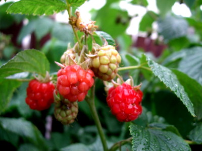 everytime i go past the raspberry bushes, i see a flash of red and before i know it, my hands are snaking out to pinch a raspberry, just like when i was a girl in grandpas garden. Oh well. Grandpa wont be telling me off for stealing these i guess...