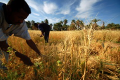 Local farmers harvesting wheat to make bread in Sudan