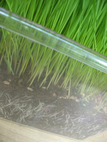 wheat grass grows!