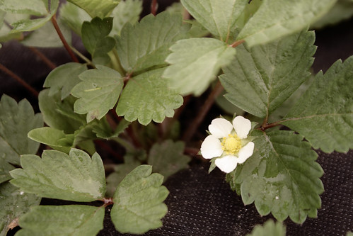 Alpine strawberry plant with flower