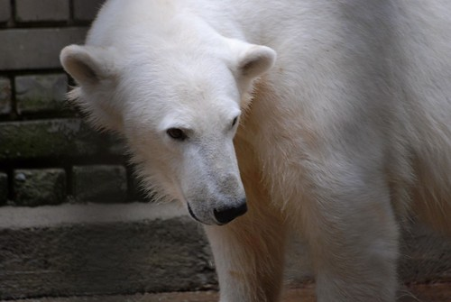 Eisbärin Frida im Zoo Tallinn