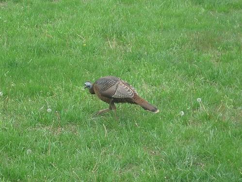 Turkey in our yard