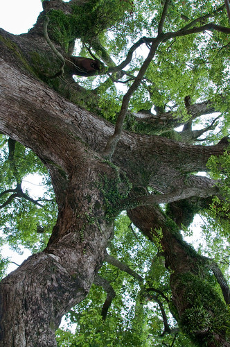 Pingding Sacred Tree