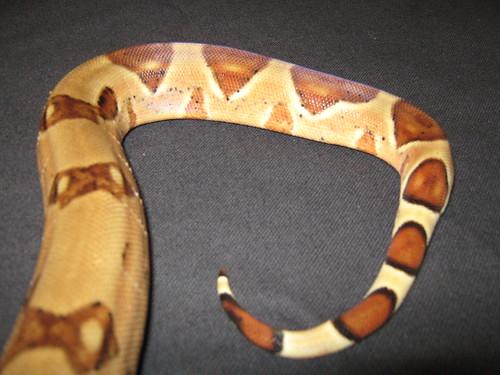 Hypo poss Jungle Boa Constrictor (tail)