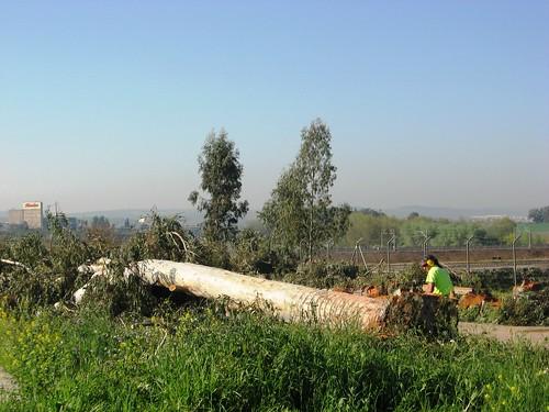 Tala grandes Eucaliptos en Campus Rabanales Universidad Cordoba.