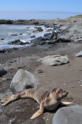 Lost Coast - Curious sea lion