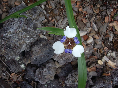 ANOTHER VIEW OF WALKING IRIS