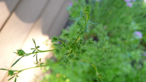 5/30/09 Parsley Flower