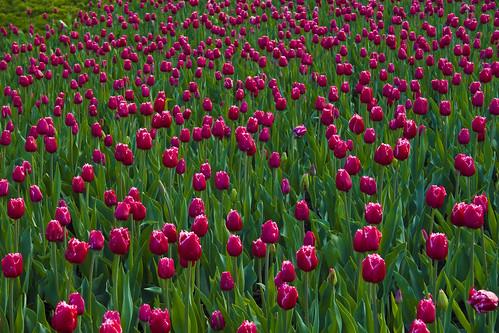 Tulips in Ottawa