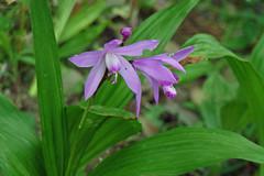 久田緑地のシラン(Orchid, Kuden Ryokuchi, Kanagawa, Japan)