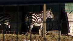 zebra in enclosure