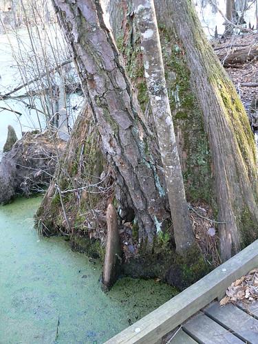 Merchant's Millpond State Park - Three Species, One Location