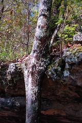 Distorted Tree, closer