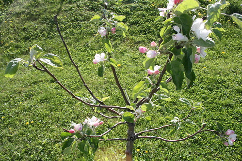 Young apple tree in bloom