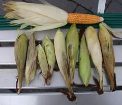 Corn-JollyRoger-partHarvest-8343