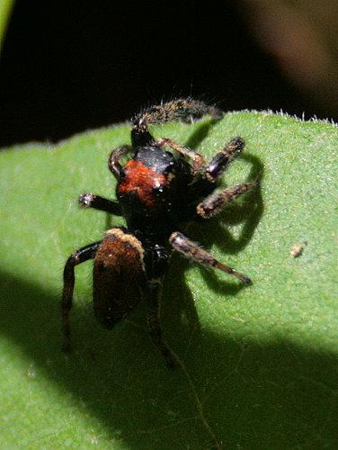 Jumping spider, Phidippus whitmani?