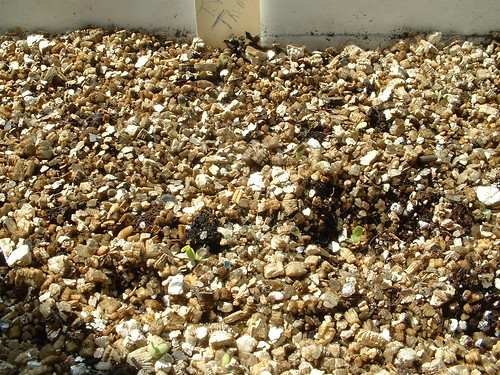 Tom Thumb Lettuce germinating!