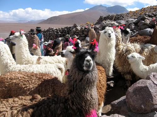 Llamas, Andes, Bolivia