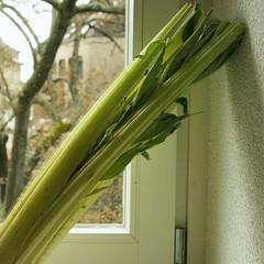 Kardy, die Gemüsekeule