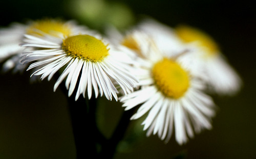 Kodachrome — Wild Daisies. (Kodachrome 64. Nikon F100. Epson V500.)