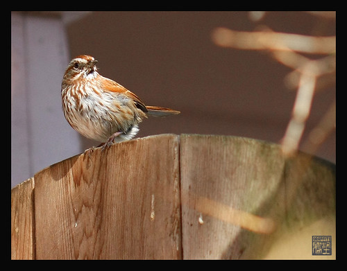 Spring scene in my garden today..song sparrow keeps an eye on me