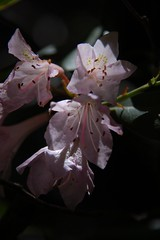 Rhododendron backlit