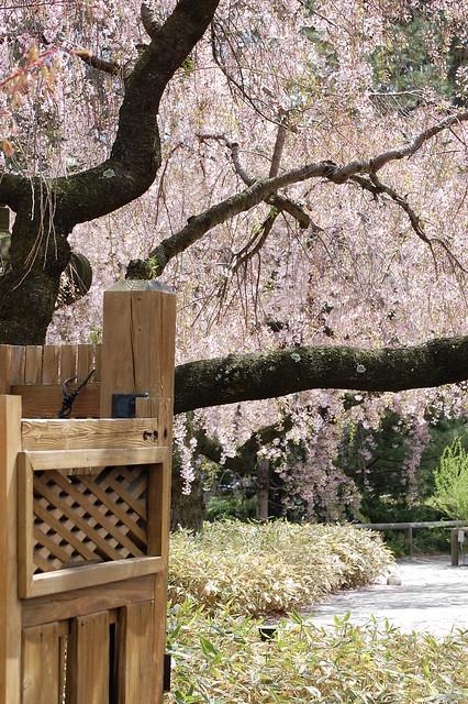 Doorway to Cherry Blossoms
