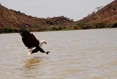 Fish Eagle making a kill