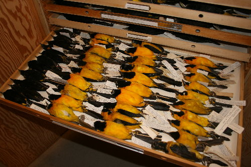 Oriole skins at Royal Ontario Museum