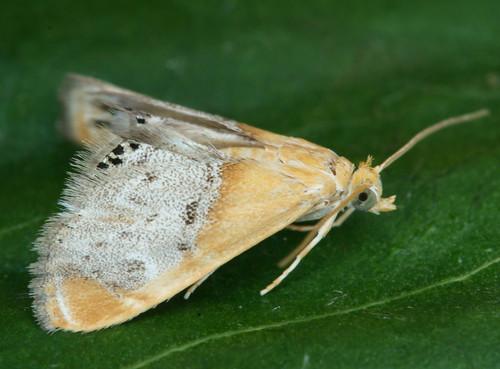 4895 - Chalcoela iphitalis - Sooty-winged Chalcoela
