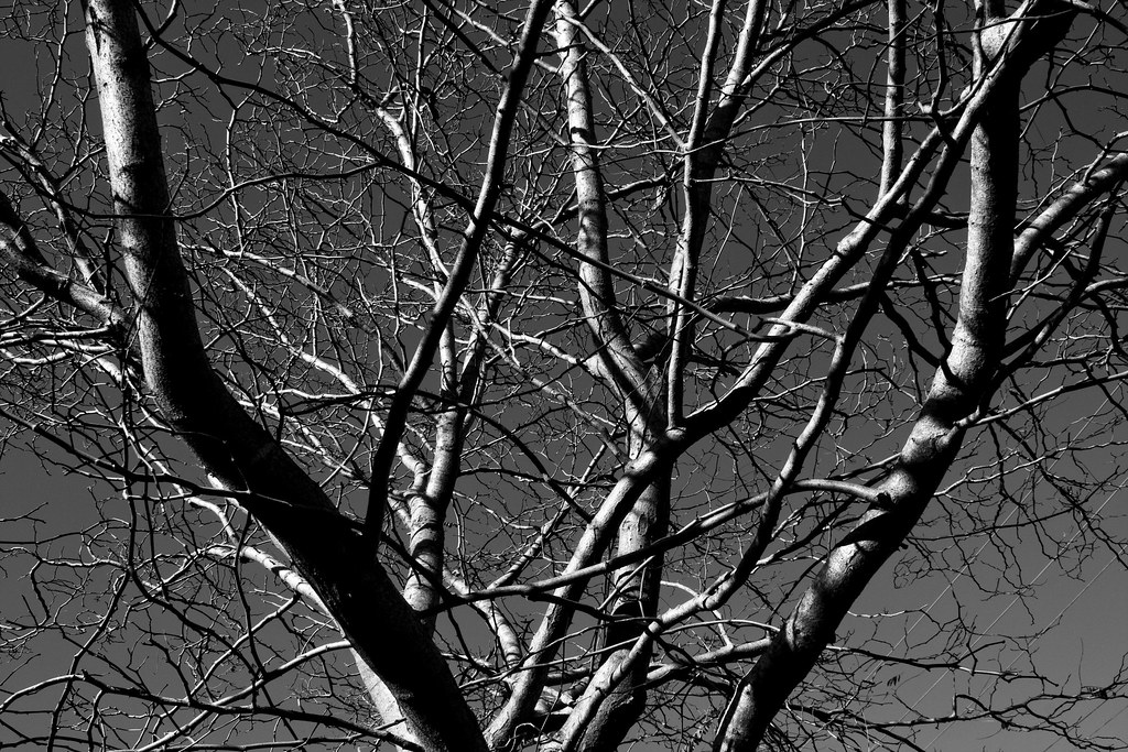 Branches against the sky-BW
