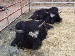 . . . and yaks . . .