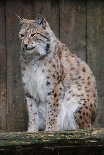 Eurasischer Luchs im Zoo Tallinn