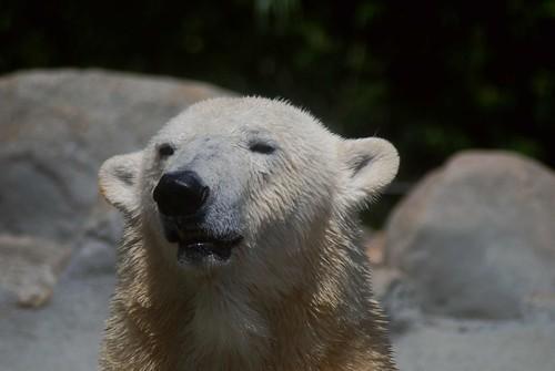 Eisbärin Victoria im Zoo Aalborg