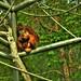 Orangutan by LMD64