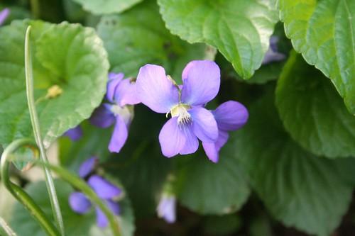 Violet Close-up