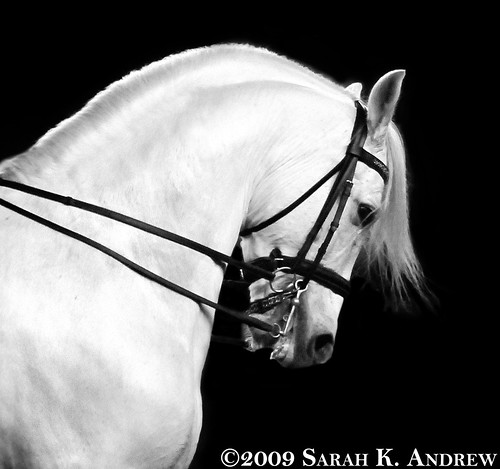 Andalusian stallion Pecos in a Matt McLaughlin clinic