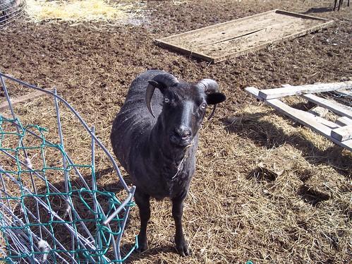 Shearing Days, April 11, 2009