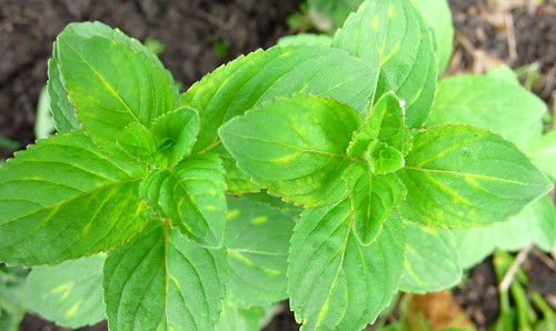 Italian Sweet Basil, Top View, 5/9/09
