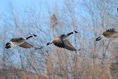 Geese in Flight (2)