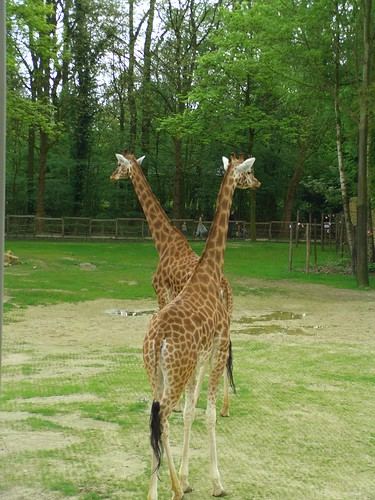 There were also two BABY giraffes, but I didnt really get a good picture