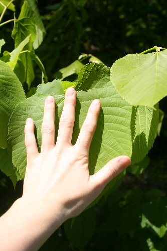 Basswood leaves