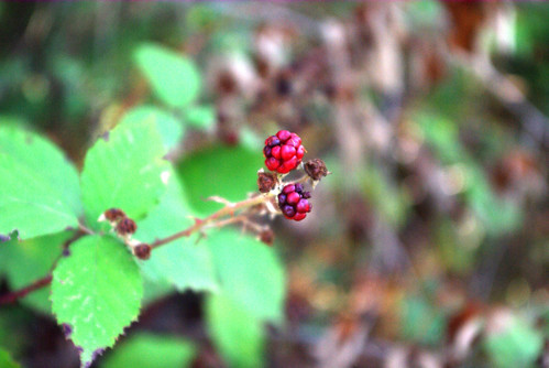 blackberry, böğürtlen, Düzce, Pentax K10d
