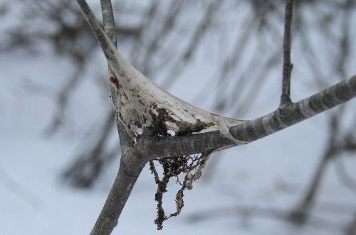 Old Tent Caterpillar nest
