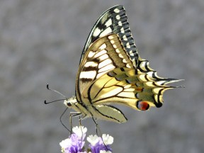 Machaon ou Grand Porte-Queue - Photo : Le No