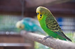Budgies in Priory Park