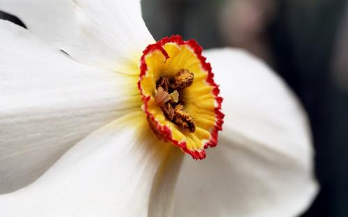 Narcissus. (Kodak Ektar 100. Nikon F100. Epson V500.)