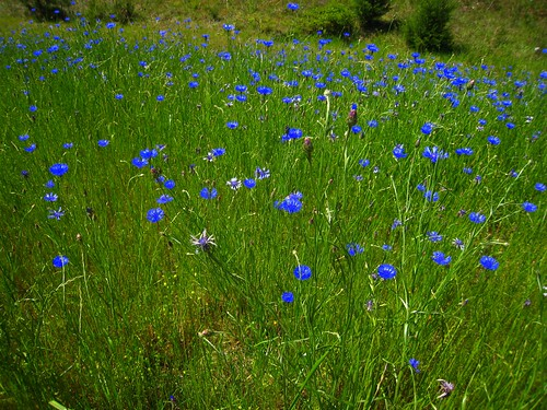Dwarf Cornflower Field